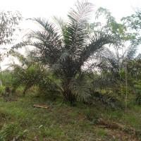 PT.PNM Pnk:7.d.Tanah Perkebunan SHM No.2626,Lt.4.960 m2,di Desa Lumbang,Kec.Sambas,Kab.Sambas,Kalbar.