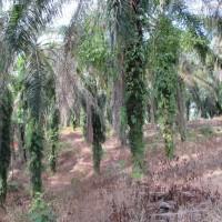 PNM3- tanah seluas 13.706 m2 di Desa Besilam Bukit Lembasa Kecamatan Stabat Kabupaten Langkat