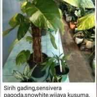 Pratiwi Ayu Adinia : Paket tanaman hias terdiri dari  Sirih Gading, Sensivera Pagoda,  Snow white, dan Wijaya Kusuma