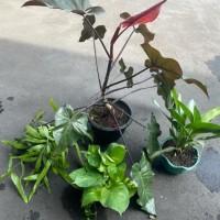 Pratiwi Ayu Adinia : Paket tanaman hias terdiri dari  Philodendron Cardinal, Sirih Gading, Wijayakusuma Mini, dan Aglonema Commutatum