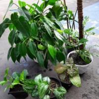 Pratiwi Ayu Adinia : Paket tanaman hias terdiri dari Sirih gading, Sirih batik, Janda bolong, Caladium , Philodendron, dan wijaya kusuma