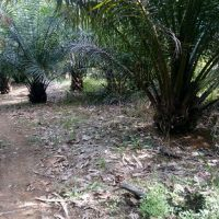 PT. PNM 4b : Tanah Pertanian SHM 394 LT 5.653 M2 terletak Desa jesape, Kec. Ledo, Kab. Bengkayang