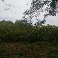 PT. BRI (Persero) Tbk. Cab. Rantauprapat: B. 2. Tanah luas 19.400 M2 (SHM No. 415) di Desa/Kel. Ulu Mahuam, Kec Kota Pinang, Kab Labuhanbatu