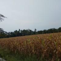 1a.BRI Medan Sisingamangaraja, Sebidang tanah seluas 8.406 m2 terletak di Kota Pari Kec Pantai Cermin Kab Serdang Bedagai